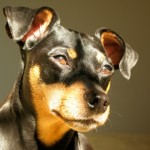 Miniature Pinscher Detects Firefighter's Cancers