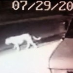 'Mountain Lion' Roaming City Street Was Really Just a Pit Bull Mix