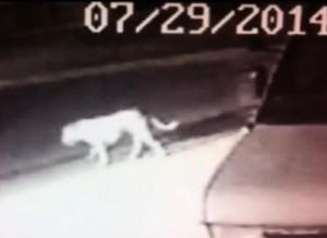 dog mistaken for mountain lion