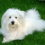 Westminster Adds Coton de Tulear and Wirehaired Vizsla to 2015 Dog Show