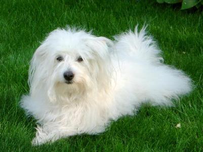 coton de tulear westminster dog show