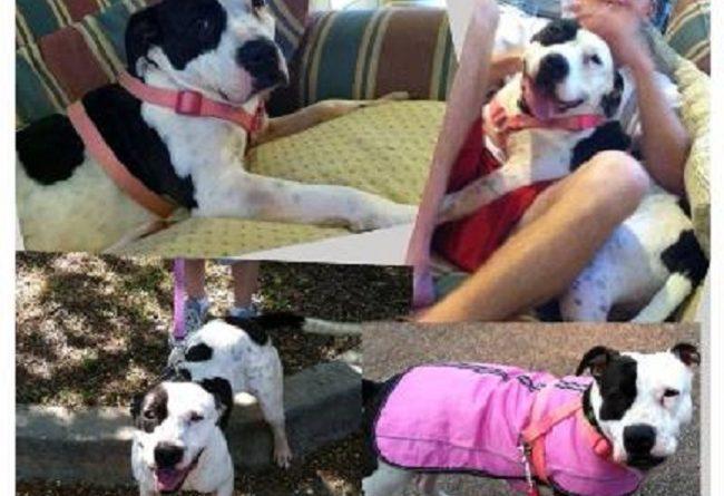 Clara, Pit Bull stabbed at PetSmart adoption event