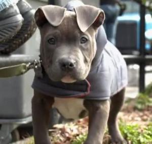 rocco pit bull the drop