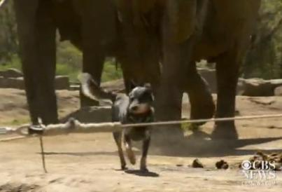 dogs herd elephants at pittsburgh zoo