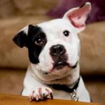 Former Vick Dog Jonny Justice is ASPCA Dog of the Year