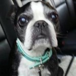 13-Year-Old Boston Terrier Survives 15-Story Fall into Hot Tub