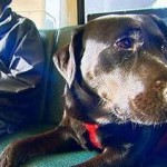 Cool or Cruel? Black Lab Boards Bus Alone to Visit Dog Park