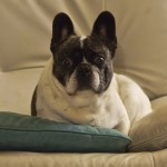 Sacré Bull! For First Time in 100 Years, French Bulldogs in AKC Top 10