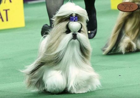 patty hearst shih tzu toy group westminster