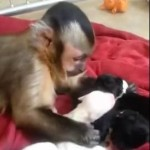 A Monkey Gently Pets Puppies and…Awww