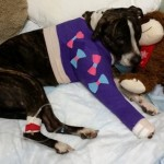 Good and Surprising News for Tampa Dog Rescued from Railroad Tracks