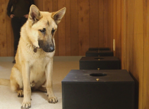 german shepherd detecting cancer