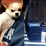 TSA Agents Discover Stowaway Chihuahua in Checked Suitcase