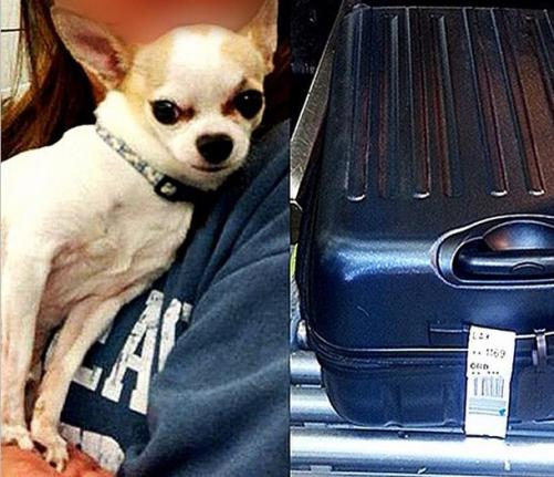 chihuahua in checked luggage