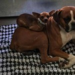Stray Chihuahua and Boxer BFFs Get Forever Home Together