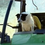 Border Collie 'Driving' Tractor Creates Scotland Traffic Jam