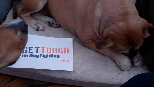 aspca get tough dog fighting campaign leroy