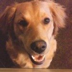 Golden Retriever Dies after Eating Sugarless Gum