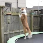 Boiiing! Dog Uses Trampoline to Escape Yard and Follow Dad to Work