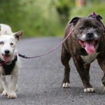 Blind Jack Russell Terrier and Seeing-Eye Staffie Need Forever Home