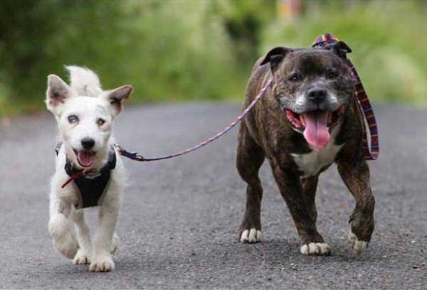 blind jack russell terrier and seeing eye dog