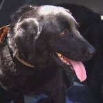 Rescued Black Lab Saves Dog Dad from Texas Flood