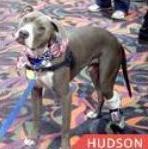 Hudson Therapy Dog finalist AHA Hero Dog Awards
