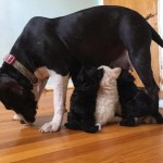 Rescued Pit Bull Mama Nurses Orphaned Poodle Puppies