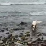 Springer Spaniel and Dog Dad Rescue Stranded Baby Dolphin