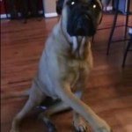 Tattletale Bullmastiff Points Out TP Perpetrator in Viral Video