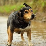 Why Wet Dogs Are So Smelly [with Helpful Infographic]