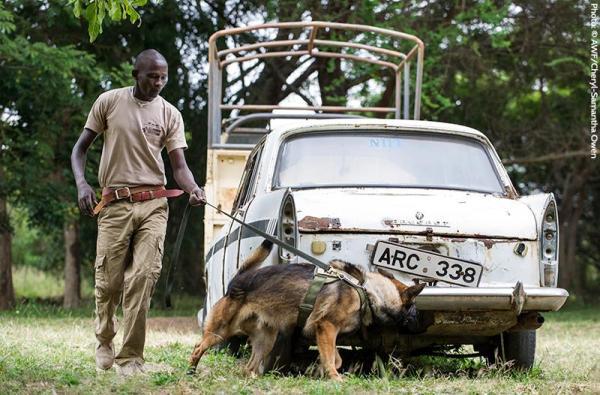 elephant ivory-sniffing dog