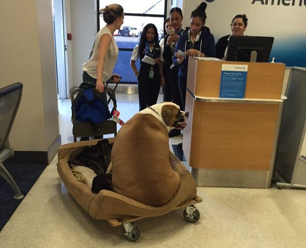 Hank big mastiff flying first class