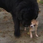 Chihuahua Helps Save Newfoundland from Dog Thief