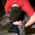 Missing Texas Pit Bull Found in California Returns Home