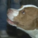 Hero Pit Bull Saves Teen from Stabbing Attack