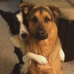 The Sweetest Trick: Border Collie Hugs Her German Shepherd BFF [Video]