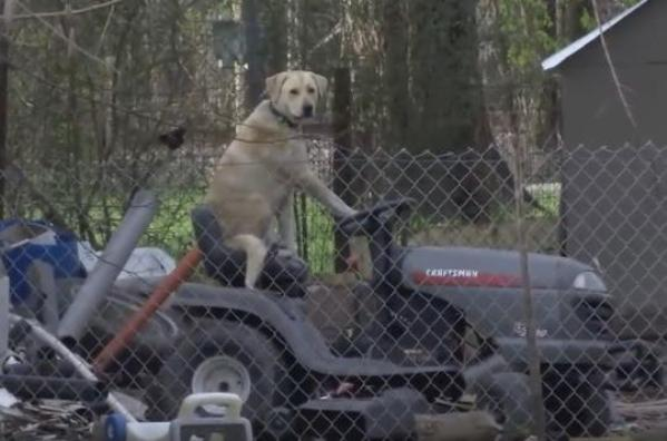 texas dog on lawn mower