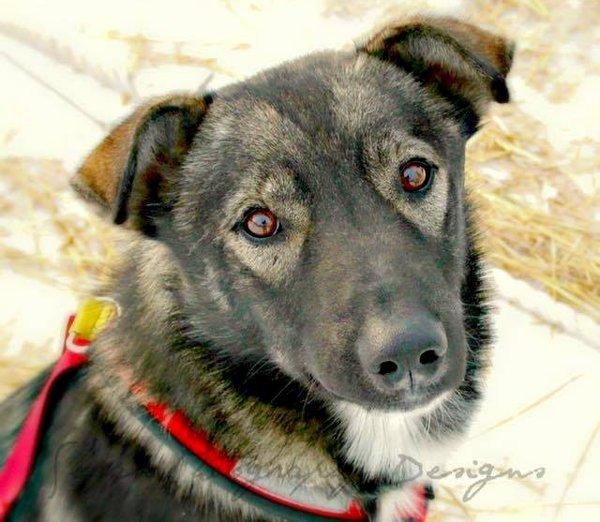 Nash Iditarod sled dog killed by snowmobiler