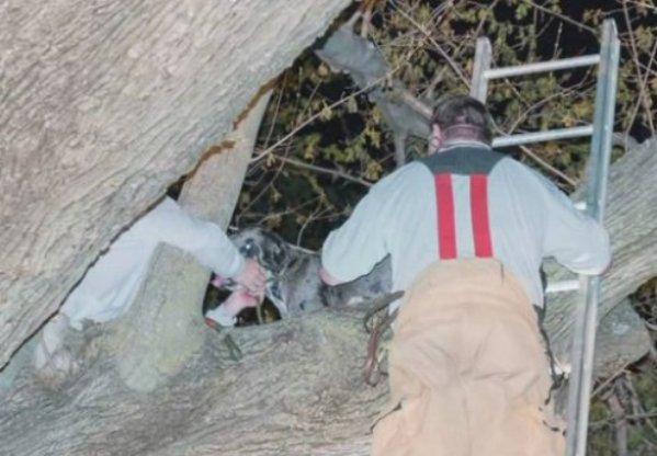 great dane stuck in tree