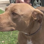 Hero Pit Bull Mix Honored for Saving Family from Home Intruders