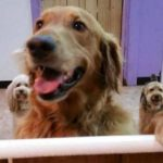 Golden Retriever Runs Away to Doggie Daycare