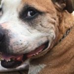 Hero Pit Bull Stabbed Saving Woman from Knife Attack Needs New Home