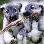 Two Cute! Identical Twin Puppies May Be World's First Ever