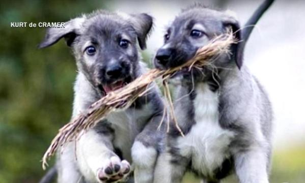 identcal twin puppies with stick