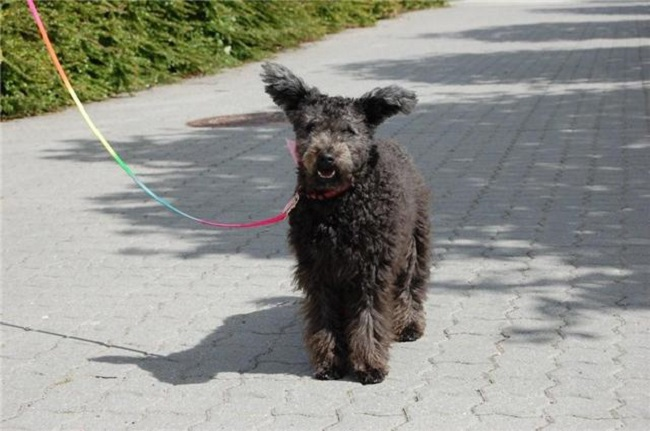 Pumi new breed WKC Dog Show
