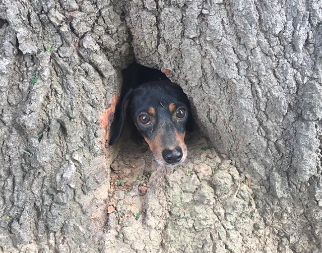 dachshund stuck inside tree trunk