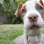 Denver's Unfair Pit Bull Ban Could Have Finally Ended, But the Mayor Says No
