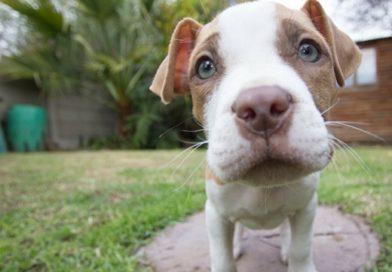 Pit Bull puppy Denver ban
